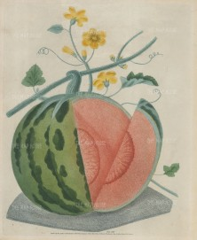Brookshaw: Watermelon. 1812. An original colour antique mixed method engraving. 9 x 12 inches. [NATHISp7408]