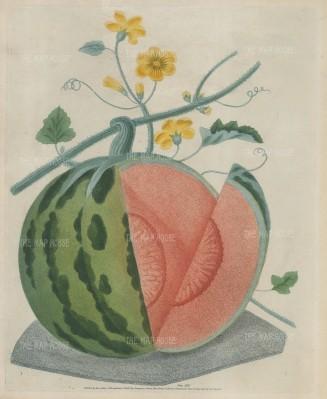 Brookshaw: Watermelon. 1812. An original colour antique mixed method engraving. 9 x 12 inches. [NATHISp7408]