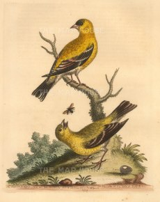 Edwards: Goldfinch. 1760. An original antique hand-coloured etching. 8 x 10 inches. [NATHISp7228]