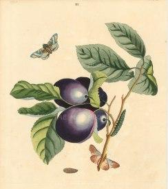 Great Mogul Plum, prunnus domestica with the Angle-shades Moth, phalena meticulosa.