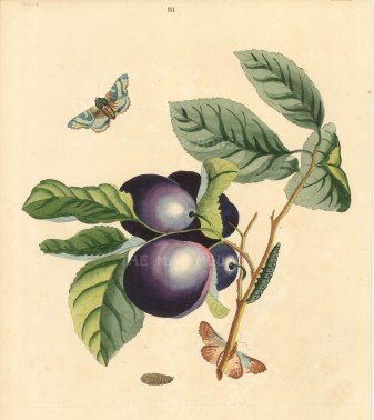 Wilkes: Plums. 1773. An original antique hand-coloured copper-engraving. 10 x 12 inches. [NATHISp7209]