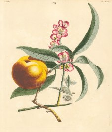 Wilkes: Peach. 1773. An original antique hand-coloured copper-engraving. 10 x 12 inches. [NATHISp7210]