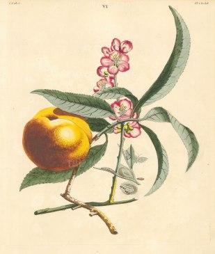 Orange Peach, amygdalus perssica with the Small Ermine Moth, phalena euonymella.