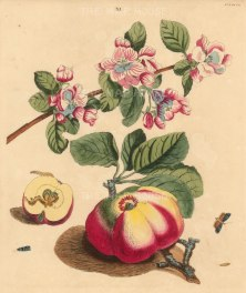 Codling Apple, pyrus malus and a Codling moth, phalena pomonella.