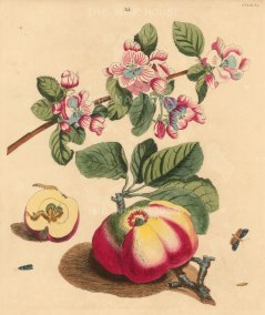 Wilkes: Apple. 1773. An original antique hand-coloured copper-engraving. 10 x 12 inches. [NATHISp7211]