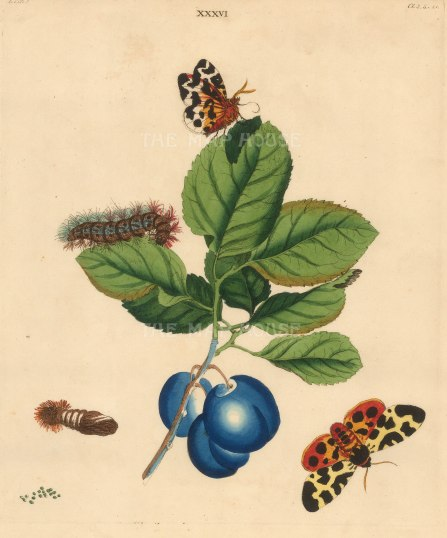 Hatfield Plum, prunnus domestica and a Great Tiger Moth, phalena caja.