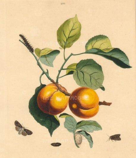 Apricot, prunnus armeniaca and a Bramble Moth, phalena rumicis.