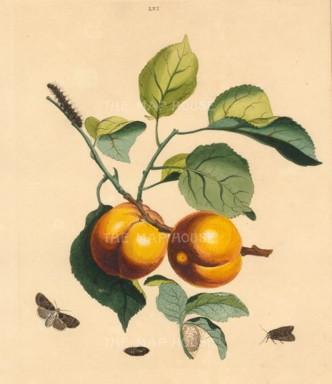 Apricot, prunnus armeniaca and a Bramble Moth, phalena rumicis.