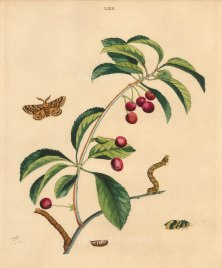 """Wilkes: Honey Cherry and the Brindled Beauty Moth. 1773. An original colour antique copper engraving. 10"""" x 12"""". [NATHISp7214]"""