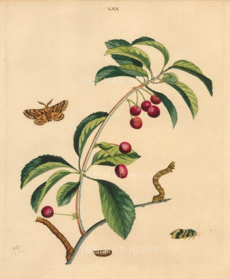 Cherry, prunus cerasus and the Brindled Beauty Moth, lycia hirtaria.