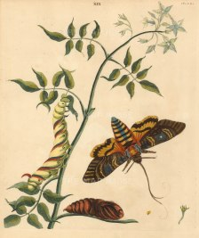 Wilkes: butterflies. 1773. An original antique colour copper-engraving. 10 x 12 inches. [NATHIS7220]