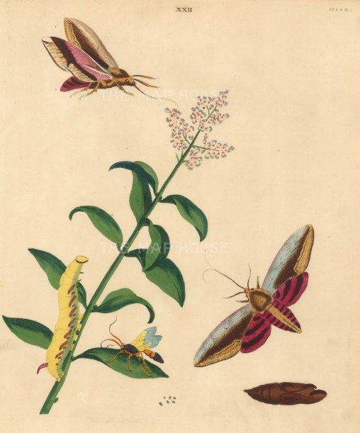 Wilkes: Privet Hawk Moths and caterpillar. 1773. An original antique colour copper-engraving. 10 x 12 inches. [NATHIS7216]