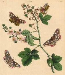 Emperor Moth, phalena pavonia and a White fruit Bramble branch, rubus fruticosa.