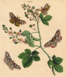 Wilkes: Emperor Moth. 1773. An original antique colour copper-engraving. 10 x 12 inches. [NATHIS7217]