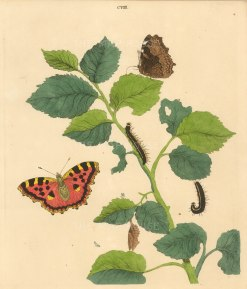 Great Tortoise Shell Butterfly, papilia chloros and an Elm branch, ulmus campestris.