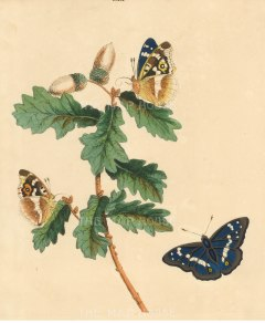 Wilkes: Emperor butterfly. 1773. An original antique colour copper-engraving. 10 x 12 inches. [NATHIS7221]