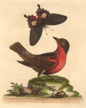 """Edwards: Bullfinch and Swallowtail butterfly. 1764. An original hand coloured antique etching. 8"""" x 10"""". [NATHISp7227]"""