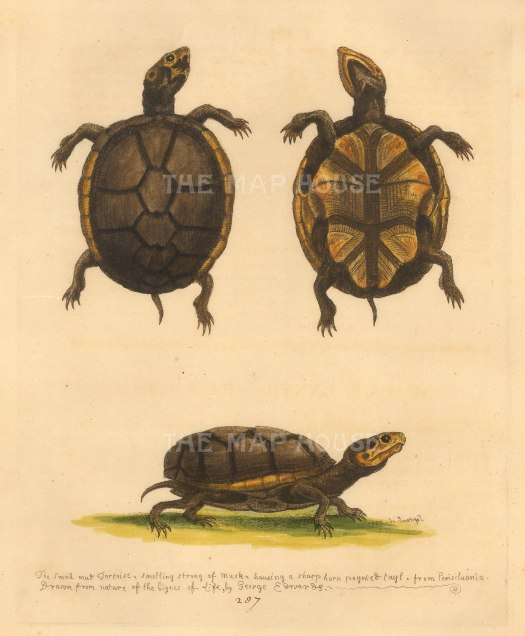 Edwards: Tortoise. 1760. An original hand-coloured antique etching. [NATHISp7229]