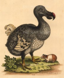 Edwards: Dodo with Guinea Pig. 1760. An antique original hand coloured etching. NOW SOLD