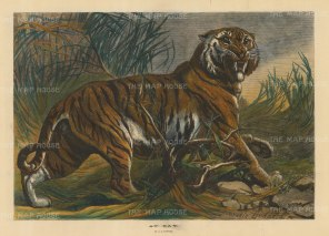 "Illustrated London News: Tiger. 1879, A hand coloured original antique wood engraving. 19"" x 14"". [NATHISp4917]"