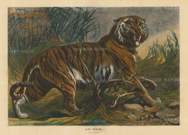 "Illustrated London News: Tiger. 1879, A hand coloured original antique wood engraving. 19"" x 14"". [NATHISp4917]"