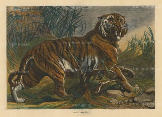 "Illustrated London News: Tiger. 1879. A hand coloured original antique wood engraving. 19"" x 14"". [NATHISp4917]"