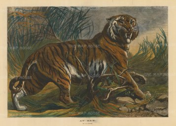 "Illustrated London News: Tiger. 1879. A hand coloured original antique wood engraving. 19"" x 14"". [NATHISp4917]"