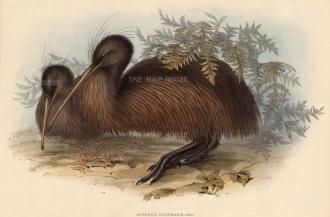 Kiwi: Apteryx Australis.