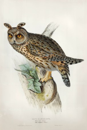 SOLD. Long Eared Owl, Strix Otus. Owl perched on branch with small foliage. After studies by the most prolific artist and publisher of ornithology.