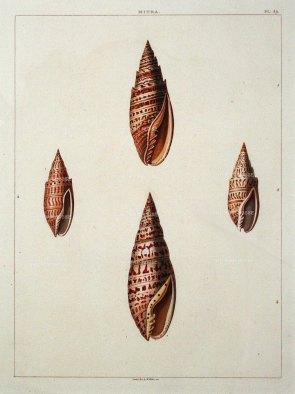 Perry: Mitra shells. 1810. An original antique aquatint. 9 x 13 inches. [NATHISp6472] SOLD