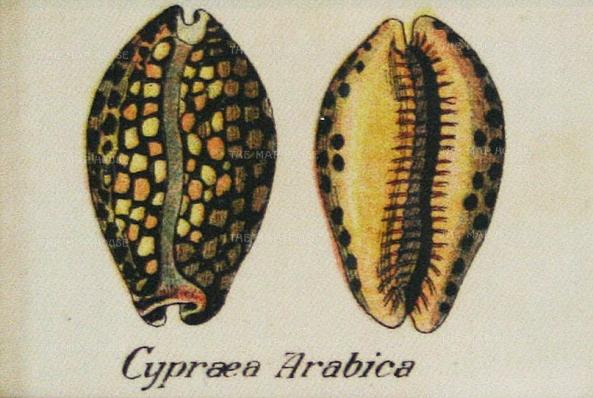 Cigarette Cards: Cypraea Arabica sea snail shells. Circa 1925. Printed on silk. 3 x 2 inches. [NATHISp6556] SOLD