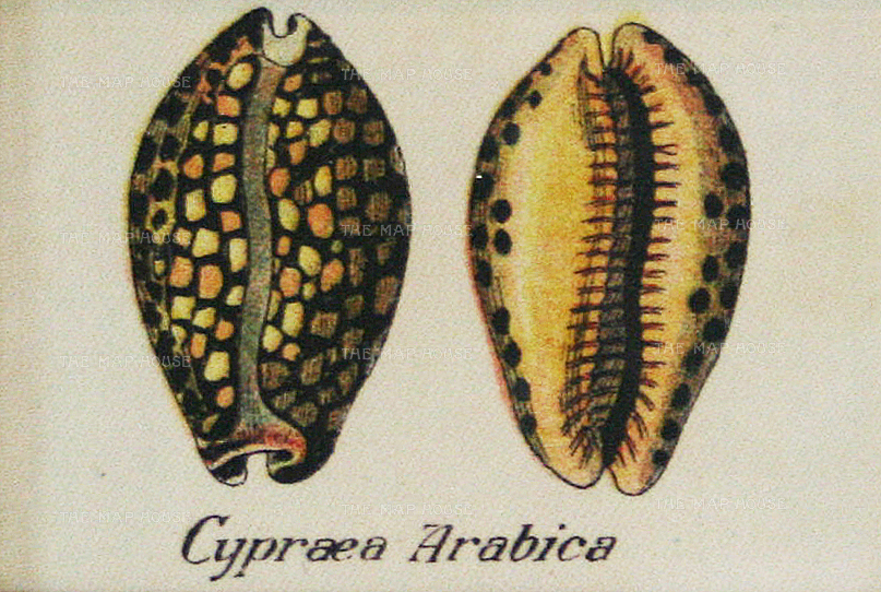 Cigarette Cards: Cypraea Arabica sea snail shells. Circa 1925. Printed on silk. 3 x 2 inches. [NATHISp6556] SOLD