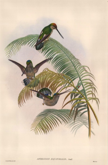Gould: Hummingbirds. 1887. An original hand coloured antique lithograph. 13″ x 19″. [NATHISp6640]