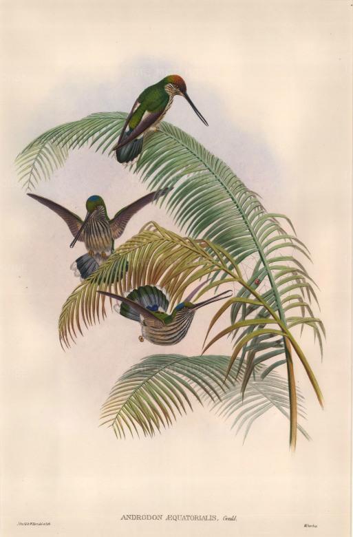 Gould: Hummingbirds. 1887. An original hand coloured antique lithograph. 13″ x 19″. [NATHISp6640]