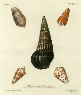 Knorr: Mollusc shells. 1770. An original hand-coloured antique copper-engraving. 7 x 9 inches. [NATHISp6869] SOLD