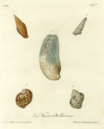 Knorr: Mollusc shells. 1770. An original hand-coloured antique copper-engraving. 7 x 9 inches. [NATHISp6874]