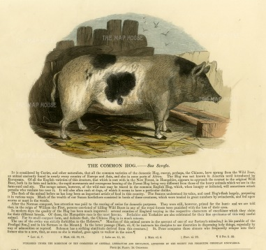 The Common Hog - Sus Scrofa with descriptive text. Founded in 1698, the SPCK is the oldest Anglican mission and publishing house of the Church of England.