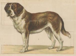 St Bernard Fold out Canine Anatomy.