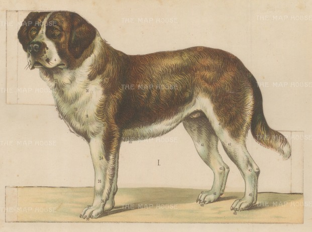 St Bernard Fold out Canine Anatomy.