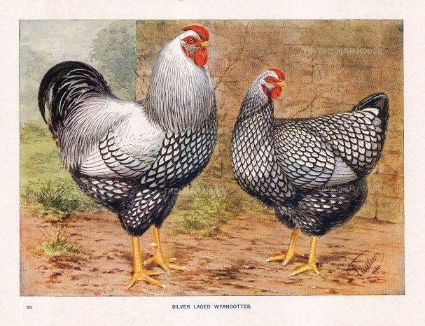 """Feathered World: Silver Laced Wyandottes. 1911. An original antique chromolithograph. 11"""" x 9"""". [NATHISp7048]"""