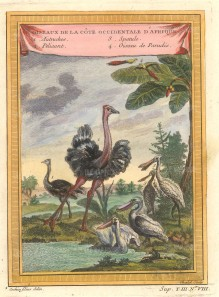 """Bellin: Ostrich, Pelican, White Spatule and Birds of Paradise. 1757. A hand coloured original antique copper engraving. 6"""" x 8"""". NATHISp7130]"""