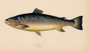 Couch: Salmon Trout. 1878. An original antique chromolithograph. 9″ x 5″. [NATHISp7155]