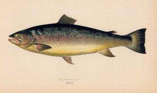 Couch: Salmon Trout. 1878. An original antique chromolithograph. 9″ x 5″. [NATHISp7155]