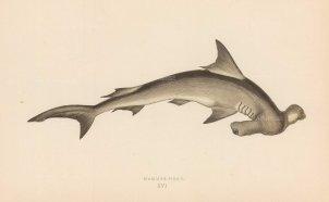 Shark: Hammerhead.