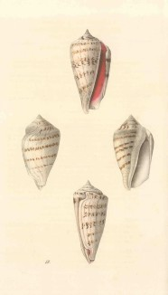 Swainson: Strobus shells. 1833. An original hand-coloured antique steel-engraving. 6 x 9 inches. [NATHISp7238]