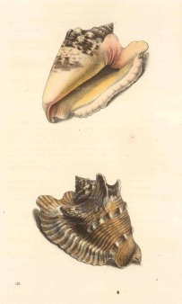 Swainson: Strobus shells. 1833. An original hand-coloured antique steel-engraving. 6 x 9 inches. [NATHISp7240]
