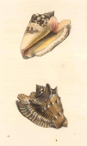 Strombus lobatus: Lobed or Brindled strombus from the West Indies, two aspects.
