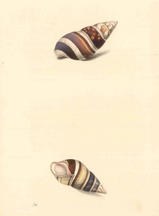 Swainson: Achatina shells. 1833. An original antique steel-engraving. 6 x 9 inches. [NATHISp7242]