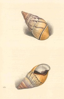 Swainson: Achatina shells. 1833. An original antique steel-engraving. 6 x 9 inches. [NATHISp7245]