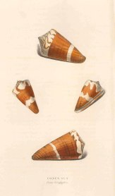 Swainson: Ermine cone shells. 1833. An original antique steel-engraving. 6 x 9 inches. [NATHISp7247]